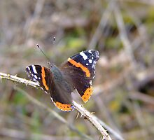 Red Admiral by Mark  O'Mahony