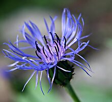 Macro Shot Blue and Purple Summer Flower by Marlaina Beers