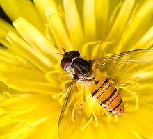Hover Fly by David de Groot