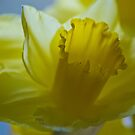 Yellow Daffodils by Steve plowman