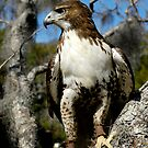 Red Tail Hawk by Scott Hansen