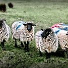 Who let the sheep out? by Kurt  Tutschek