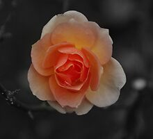 A Rose By Any Other Name.... by donnah