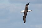 Black-browed Albatross ~ Majestic  by Robert Elliott