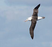 Black-browed Albatross ~ Majestic  by Robert Elliott