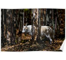 Arctic Wolf in Forest Poster