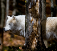 Arctic Wolf in Forest Sticker