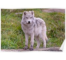 They're Growing - Arctic Wolf Pups  Poster