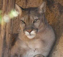Cougar by trysten