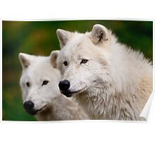 Arctic Wolf Pair Poster