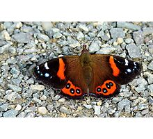 The Red Cloak! - Red admiral Butterfly - NZ Photographic Print