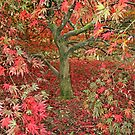 Acer at Westonbirt by RedHillDigital