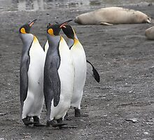 "King Penguins ~ ""The Line Dancers"" by Robert Elliott"