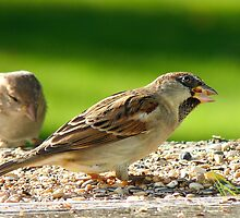 Always Be Alert! - House Sparrows - NZ by AndreaEL