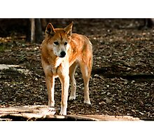 Australian Dingo Photographic Print