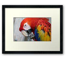 Scarlett O'Hara! - Scarlet Macaw - NZ Framed Print