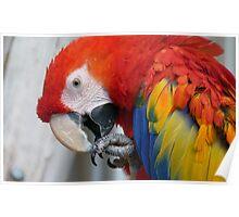 Scarlett O'Hara! - Scarlet Macaw - NZ Poster
