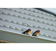 Welcome Home Honey! - Swallows - Dunedin NZ Photographic Print