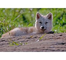 Arctic Wolf Pup Photographic Print