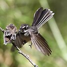 Grey Fantail ~ Come on ... flap like this baby !!  by Robert Elliott