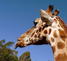 BLAHHH! - Giraffe - Orana Wildlife Park CHC NZ by AndreaEL