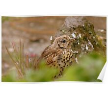 Am I Invisible Yet? -  Juvenile Song Thrush - NZ Poster