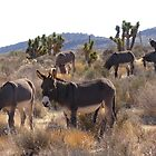 Wild Burros by Cathy Jones