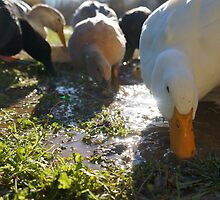 Ducks Love Puddles by DuckDuckDog