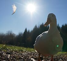 Duck with Feather Floating By by DuckDuckDog