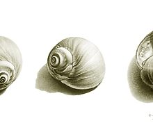 Three Shells by Donna Basile