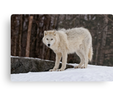Arctic Wolf in Snow Metal Print
