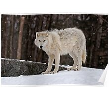 Arctic Wolf in Snow Poster