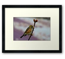Is it Winter Or Spring? - Silver-Eye - Southland NZ Framed Print