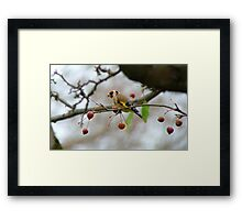 Desperate Measures! - Goldfinch Eating Berries - NZ Southland Framed Print