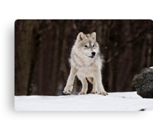 Arctic Wolf in Snow Canvas Print