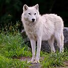 Arctic Wolf on Rocks by Michael Cummings