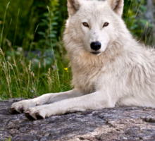 Arctic Wolf on Rocks Sticker