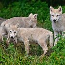 Arctic Wolf Pup Trio  by Michael Cummings