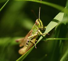 grass hopper by richard clarke