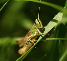 grass hopper by richard clarke