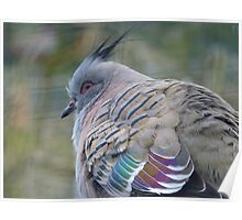 I Am a Dreamer - Crested Bronze-winged Pigeon - NZ Poster