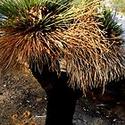 Grass Tree Joondulup, Western Australia. by Sandra  Sengstock-Miller