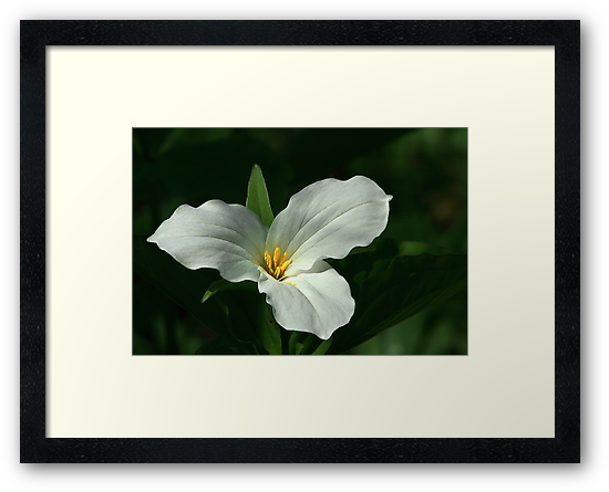 Trillium - Emblem of Ontario by Holly Cawfield
