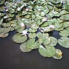 Water Lillies by Kayleigh Sparks