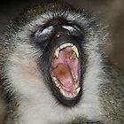 Yawn! Black-faced Vervet Monkey, Kenya.  by Carole-Anne
