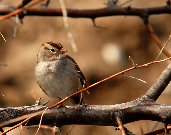 Juvenile White-Crowned Sparrow by Ryan Houston