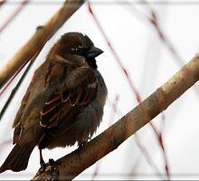 House Sparrow - Lehi, Utah by Ryan Houston