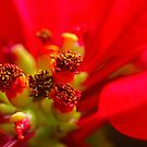 the heart of a poinsettia by lensbaby