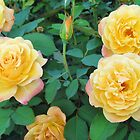Yellow With Pink Tip Roses by Cynthia48