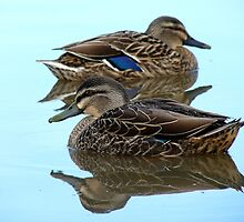 We're Cool, Calm And Collected..! Mallard Ducks - NZ by AndreaEL
